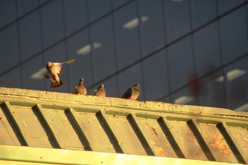 Cute Animals (sunset pigeons)