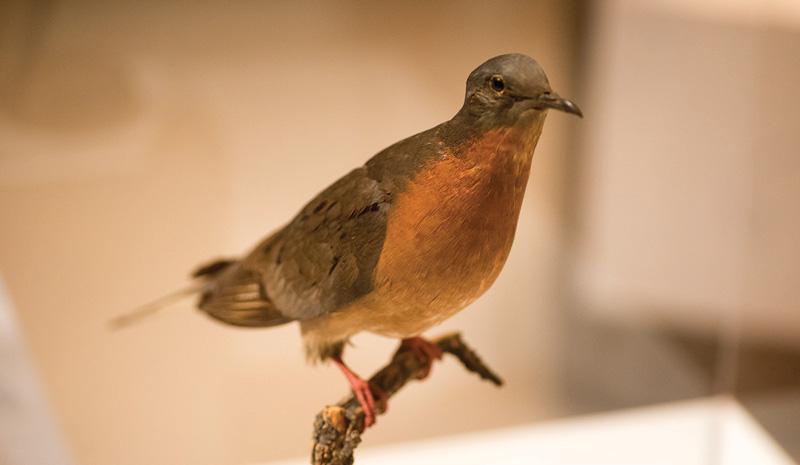 Passenger pigeon -  photo Darrol Hofmeister