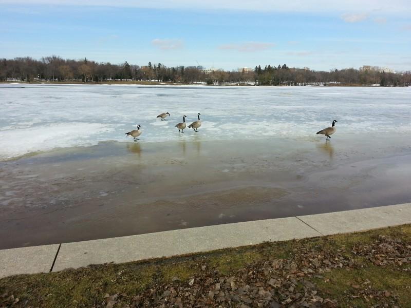 Geese(WascanaLake)