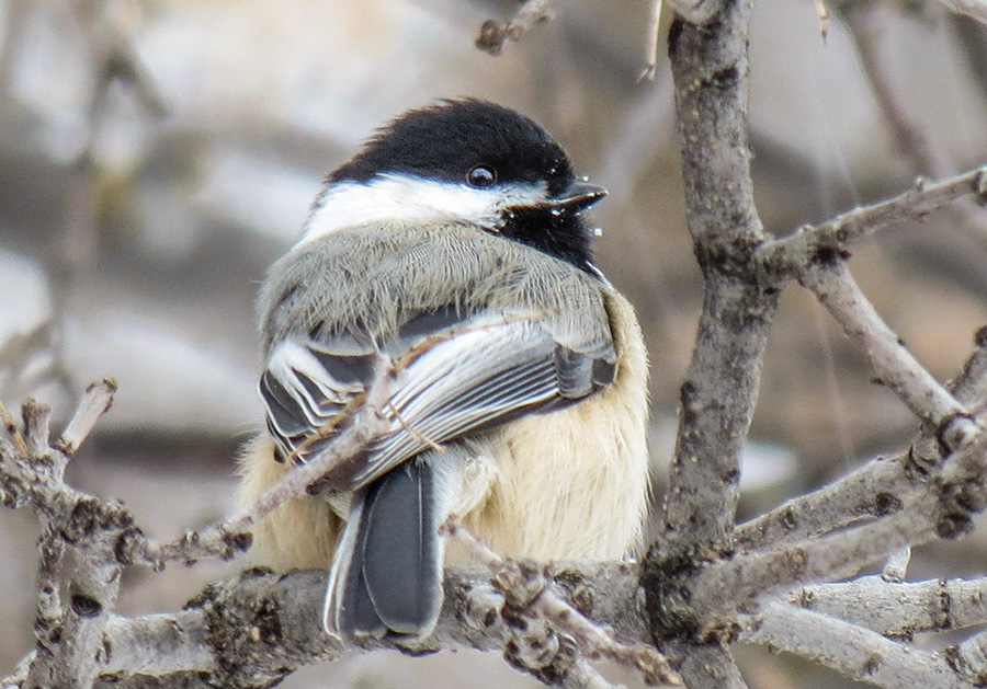 Black-capped chickadee, photo by Fran Kerbs